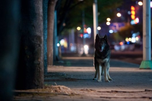 The wolf goes on the prowl on the streets of Seoul