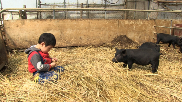 Director Hwang's son befriends a piglet while learning how to farm
